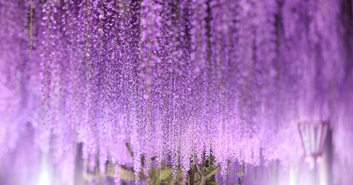 幻想的な藤の花
